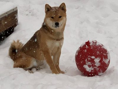 Shiba Inu in the snow with a red ball.