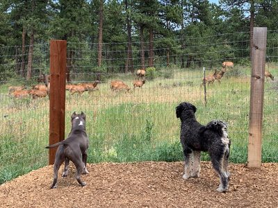 Back of two dogs looking at a herd of elk.
